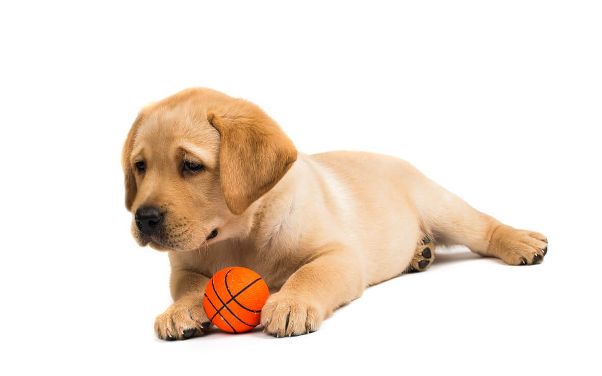 Chiot Labrador avec un jouet